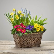 Bold Brights Spring Planted Basket Code: S33131MS | National and Local Delivery