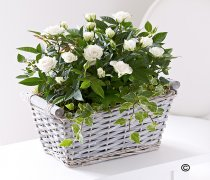 Cream Rose Basket Code: JGFR65221CS | Local Delivery Or Collect From Shop Only