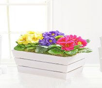 Spring Primrose Planter Code: JGFS81031MP | Local Delivery Or Collect From Shop Only