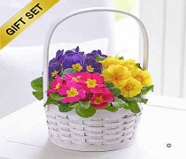 Spring Primrose Planted Basket with Luxury Chocolates Code: JGFS31451MB Local Delivery Only