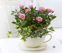 Chic Pink Rose Teacup Planter Code: C00511PS