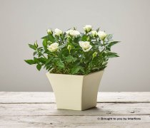 Cream Rose Sympathy Arrangement Code: C14881CS | National and Local Delivery