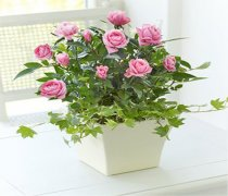 Pink Rose Planter Code: JGFC00721PS