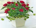 Red Rose Planter with a Delicious bottle of Wild Orchid Merlot Wine Code JGF731RCSRW