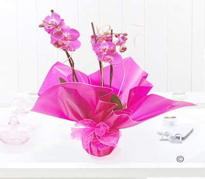Pink Phalaenopsis Orchid Plant Code: JGF1454POP | Local Delivery Or Collect From Shop Only