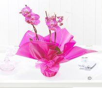 Pink Phalaenopsis Orchid Plant Code: JGF1454POP  ( Local Delivery Only )