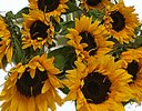 Sunflower Gift Wrap Code: JGF659SFSW | Local Delivery Only