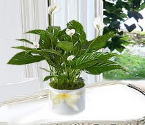 Peace Lily in a White Ceramic Pot Code: JGF3324PLCP