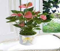 Anthurium plant in a White Ceramic Pot Code: JGF4324APCP