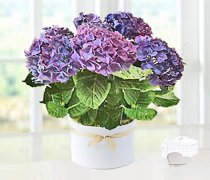 Blue Hydrangea plant  in a White Ceramic Pot Code: JGF7324BHPWC