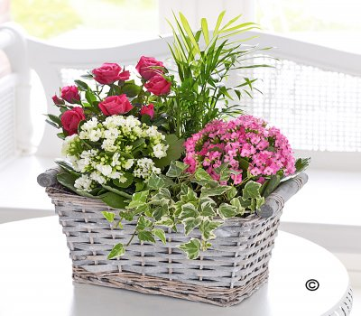 Planted Willow Basket Code: JGFC05695MS Local Delivery Only
