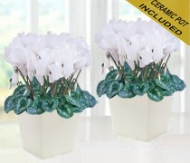 White Cyclamen Plant Duo Code: JGF89203WCDC