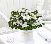 White Azalea Plant Code: JGF7877WAP  | Local Delivery Or Collect From Shop Only
