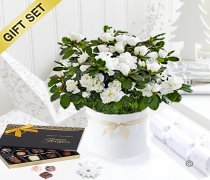 White Azalea with Luxury Chocolates Code: JGF7878WAPC   ( Collection OR Local Delivery Only )