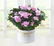 Pink Azalea Plant Code: JGF7878PAP | Local Delivery Only