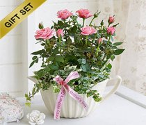 Mother's Day Pink Rose Plant Jug with Luxury Chocolates  Code: JGFM51581PBC  | Local Delivery Or Collect From Shop Only