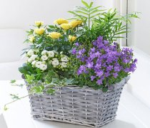 Rose and Kalanchoe Planted Basket Code: H61381MS | Local Delivery Only