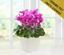 Pink Cyclamen Plant  Code: JGF88202PCCP | Local Delivery Only