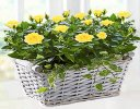 Yellow Rose Basket with Luxury Chocolates Code: JGFP05221YSC  | Local Delivery Or Collect From Shop Only