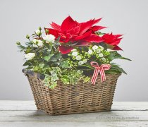 Colours of Christmas Planted Basket Code: X82011MS | National and Local Delivery