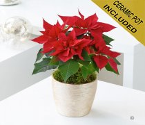 Christmas Traditional Poinsettia Pot Code: JGFX86601 Local Delivery Only