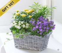 Rose and Kalanchoe Planted Basket with a Box of Belgian Chocolates Code: JGFP89381PB | Local Delivery Only