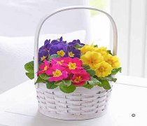 Spring Primrose Planted Basket Code: JGFS431831S Local Delivery Only