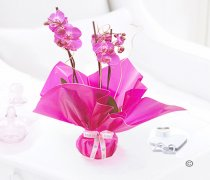 Mother's Day Pink Phalaenopsis Orchid Plant Code: JGFM1454POP | Local Delivery Or Collect From Shop Only