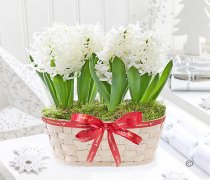Merry Christmas Hyacinth Planter Code:JGFX62541HB  | Local Delivery Or Collect From Shop Only