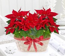 Merry Christmas Festive Poinsettia Basket Code:JGFX72641PB | Local Delivery Or Collect From Shop Only