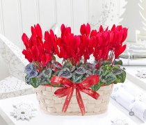Merry Christmas Festive Red Cyclamen Basket Code:JGFX726985CB | Local Delivery Or Collect From Shop Only