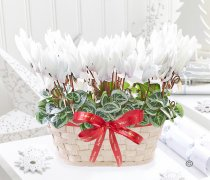 Merry Christmas Festive White Cyclamen Basket Code:JGFX726986CB | Local Delivery Or Collect From Shop Only
