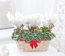 White Cyclamen Basket Code:JGFW726986WCB | Local Delivery Or Collect From Shop Only