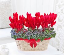 Red Cyclamen Basket Code:JGFW726985RCB | Local Delivery Or Collect From Shop Only