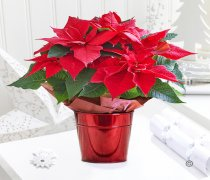 Crimson Poinsettia Star Tin Code: X90601RS | National and Local Delivery