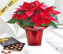 Crimson Poinsettia Star Tin with a box of Luxury Belgian Milk Chocolate Truffles  X90601RS-CT | National and Local Delivery