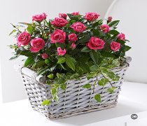Pink Rose Basket Code: JGFC05221PS  | Local Delivery Or Collect From Shop Only