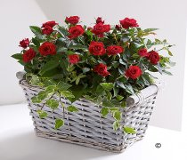 Red Rose Basket  Code: JGFP85221RP  | Local Delivery Or Collect From Shop Only
