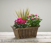 Autumn Magenta Breeze Willow Planted Basket Code: A73341MS | National and Local Delivery