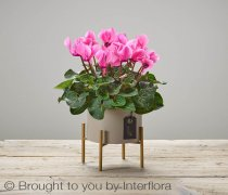 Autumn Cherry Pink Cyclamen Plant Code: A73331PS | National and Local Delivery