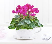 Pink Cyclamen Teacup  Code: JGFP251PTC | Local Delivery Or Collect From Shop Only