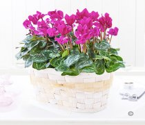 Pink Cyclamen Basket Code: JGFP228CPS  | Local Delivery Or Collect From Shop Only