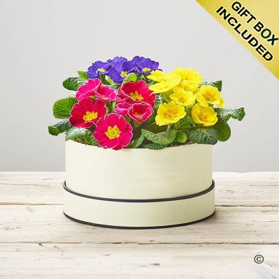 Radiant Primula Hatbox Code: S33631MS | National and Local Delivery