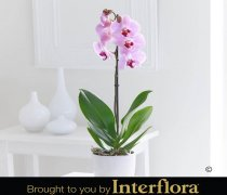Pink Phalaenopsis Orchid Plant Code: Code: M52271PS